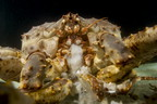 KING CRAB  Paralithodes camtschaticus